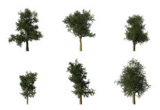 Group of 6 CG platanus trees Royalty Free Stock Photos