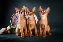 Group of abyssinian cats on dark green background.  Stock Photos