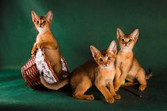 Group of abyssinian cats on dark green background.  Stock Images