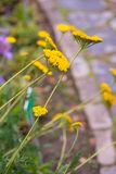 Group of Achillea Moonshine. Inflorescence with bright yellow flowers, border in the garden stock photography
