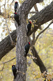 A Group of Acorn Woodpeckers in a Tree Royalty Free Stock Image