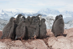 Group of Adelie penguins chicks. Adelie penguin chicks group on the rocks in the colony Stock Photos