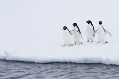 Group of Adelie penguins on the ice near water Royalty Free Stock Image