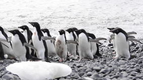 Group of the Adelie Penguins stock footage