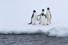 Group of Adelie penguins are standing on the edge of the ice in Royalty Free Stock Photos
