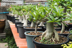 Group of adenium obesum Stock Images