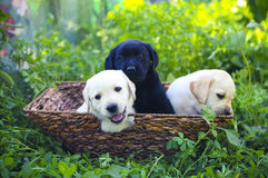 Group of adorable golden retriever puppies in the yard Stock Images