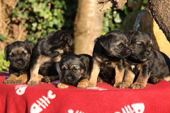 Group of adorable puppies on red blanket Stock Image
