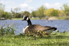 Group of adorable tiny Canada geese newborn chicks huddling against their mother. With the St. Lawrence River and Lachine sector shore in the background stock photo