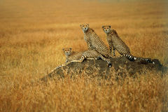 Group of adult cheetah watching for hunting on the anthill. Royalty Free Stock Photos