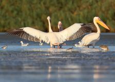 A group of adult white pelicans and one young pelican rest in the water. royalty free stock images