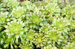 Group of Aeonium Arboreum succulent plants Stock Images