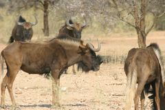 Group of african animals. Group of wildebeest antelopes standing in the namibian svannah, africa royalty free stock photos