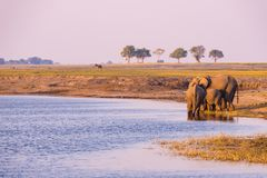 Group of African Elephants drinking water from Chobe River at sunset. Wildlife Safari and boat cruise in the Chobe National Park,. Namibia Botswana border royalty free stock photography