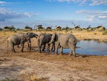Group of African elephants drinking at water hole with safari tents of lodge in background, Botswana, Africa Stock Photos