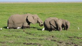 Group of African elephants feeding in a swamp along with herons and other birds stock video footage