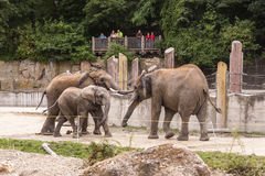 Group of African elephants - instance 1 Royalty Free Stock Photography