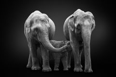 African elephants inhabiting South Africa on monochrome black background, black and white. Artistic processing, fine art. Group of African elephants - mum royalty free stock image