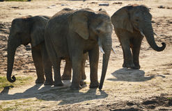 Group of African elephants in natural environment Royalty Free Stock Photo
