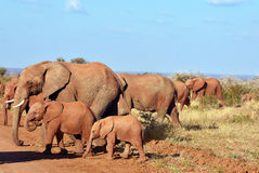 Group of African elephants Royalty Free Stock Images