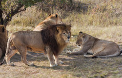 The group of African lions resting after lunch. Stock Image