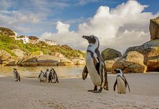 African Penguins. A group of African Penguins on a beach in Southern Africa Royalty Free Stock Photo