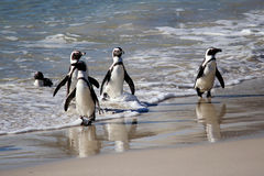 African Penguin Royalty Free Stock Photography
