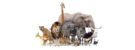 Safari Animals Together Isolated Banner. Group of African safari animals together on white header with room for text on both sides Stock Photo