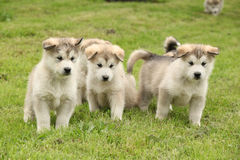 Group of Alaskan Malamute puppies Royalty Free Stock Photo