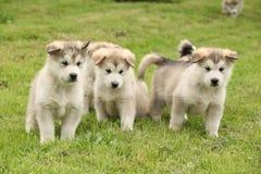 Group of Alaskan Malamute puppies Royalty Free Stock Photo