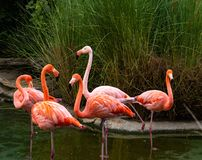 Group of 5 alert colorful adult flamingos, heads are up, necks have a graceful curve. Group of 5 alert colorful adult pink flamingos, heads are up, necks have a royalty free stock photos