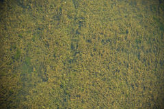 Group of algae in rivers Royalty Free Stock Photography