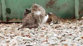 Group of alley cats sitting near trash dumpster and looking about. Focus on gravel of forefround, blurred cats stock video