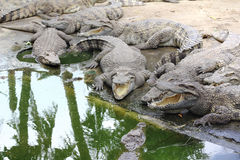 Group of alligator Stock Photography