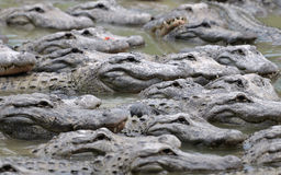 Group of alligators stock photo