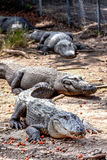 Group of alligators. Royalty Free Stock Photo