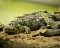 Group of Alligators Royalty Free Stock Image