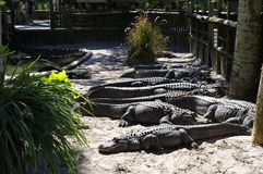Alligators gather near the edge of a pond, St. Augustine Alligator farm, St. Augustine, FL. A group of Alligators gather near the edge of a pond, St. Augustine stock image