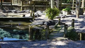 Alligators gather near the edge of a pond, St. Augustine Alligator farm, St. Augustine, FL. A group of Alligators gather near the edge of a pond, St. Augustine stock images