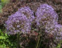 Group of Allium Albopilosum Cristophii Stock Photography
