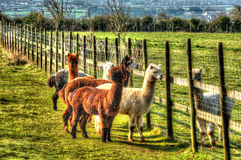 Group of Alpaca by diagonal fence in field Royalty Free Stock Image