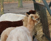 Group Alpaca eating Royalty Free Stock Photography