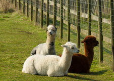Group of Alpaca by fence in a field resting lying down brown and white Stock Photo