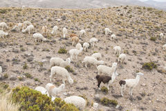 Group of alpaca grazing Royalty Free Stock Images