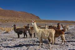 Group of alpacas Stock Photos