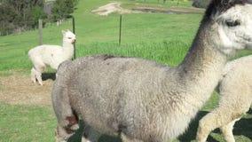 Group of alpacas stock footage