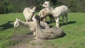 Group of alpacas stock video footage
