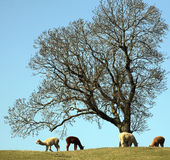 Group of alpacas in field. English Midlands Royalty Free Stock Photo