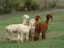 Group of Alpacas in a green pasture Stock Photos