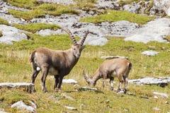 Group of alpine ibex Stock Image